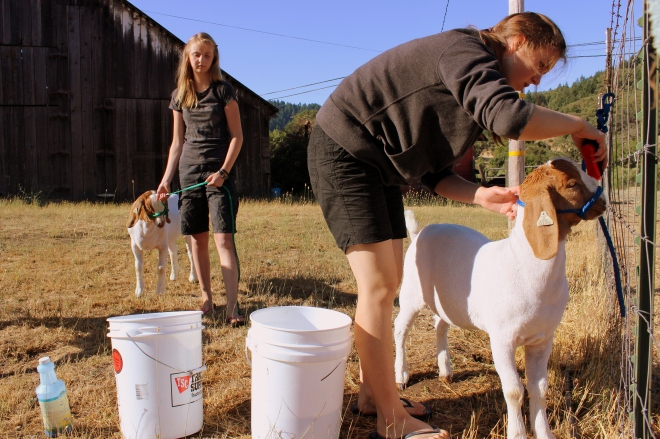 Cleaning the goats before transporting.