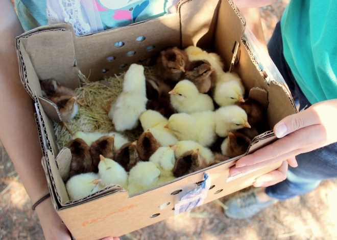Welsummer and Delaware chicks from Whitmore Farm: Sweet Little Wood