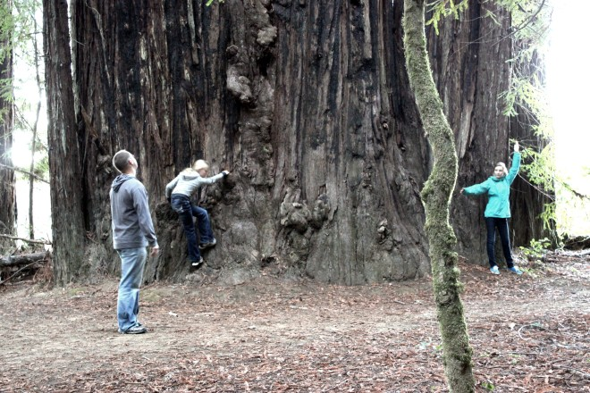 Giant Coastal Redwoods- Sweet Little Wood.