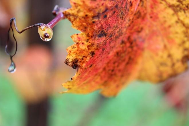 Rain on Vineyard Leaves 1 @ Sweet Little Wood