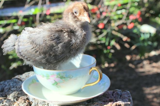 2 week old chick @ Sweet Little Wood