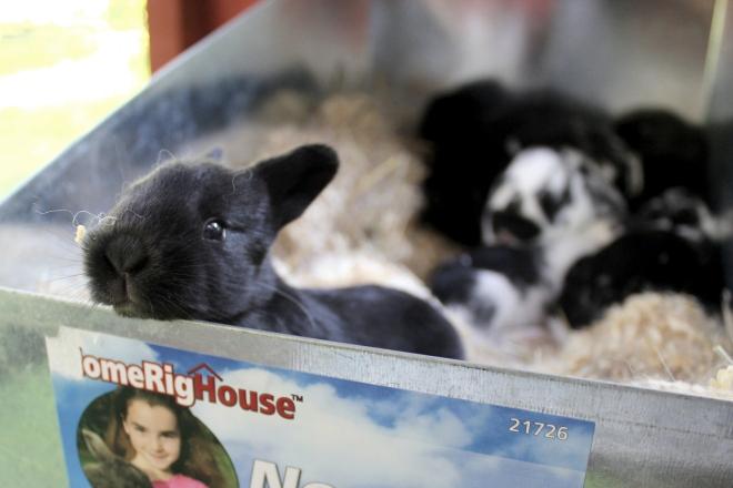 New Zealand Rabbit kit, 14 days old @ Sweet Little Wood